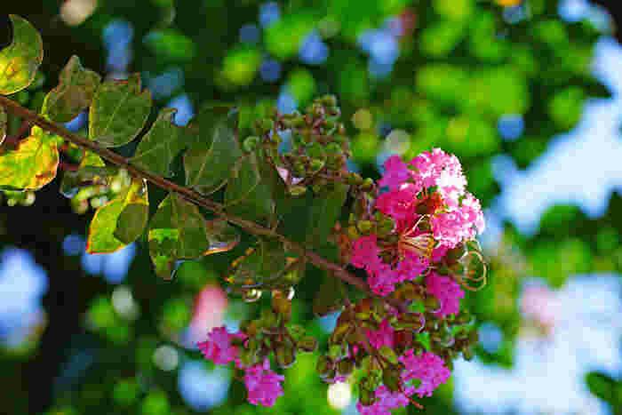 大暑の頃にはもう一つ「三伏(さんぷく)」という言葉が当てられる日があります。五行説で秋を象徴する「金」の気は、夏の暑さでもある「火」の気で溶かされてしまうので、夏至から立秋過ぎに三回巡ってくる「庚の日(金の日)」は伏せて慎む、という由来があるそうです。