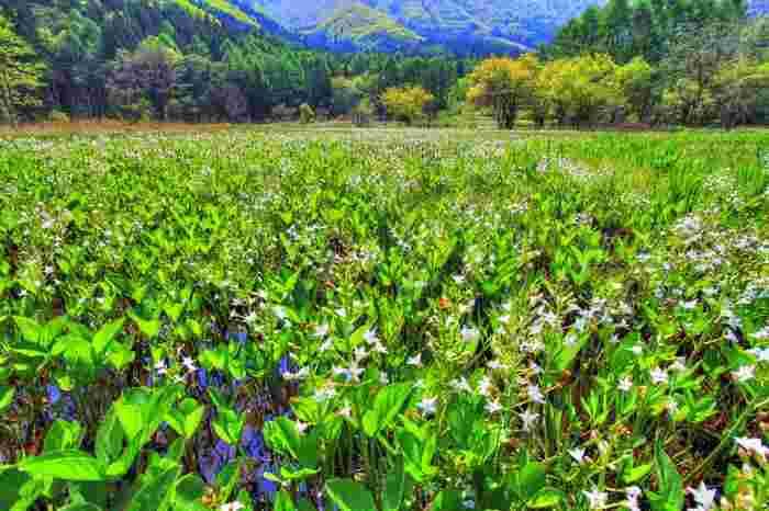 姫川源流から歩いて行くことのできる「親海湿原」には、美しい花々が咲き乱れます。