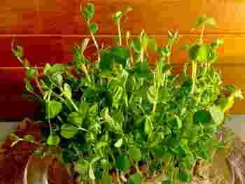 豆苗はえんどう豆の若芽で、安価なうえに栄養満点。そんな豆苗は「1度買えば、2~3度おいしい」すぐれもの野菜なんです。 豆苗の育て方をメーカーがまとめて紹介したサイトがありますので、ぜひぜひ参考にしてたっぷり収穫してくださいね。