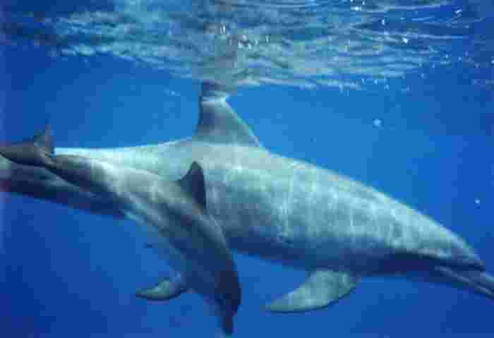 御蔵島周囲の海は餌となる魚が豊富でイルカにとって子育てするのに最適なので、親子イルカに出会える機会も多いそう。