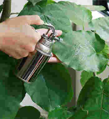 大きな葉っぱは乾燥に弱いので、こまめに霧吹きしてあげてくださいね。