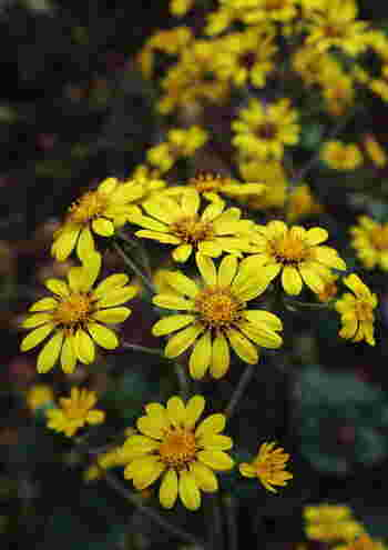 """冬枯れの地面にすっと茎をのばして咲く鮮やかなイエロー。30cm以上の長い茎を持つキク科ツワブキ属の多年草。""""葉がフキに似ながらフキとは異なってつやつやしていることからツワブキ""""""""葉がぶ厚いことからアツハブキに""""…など、名称の由来にはさまざまな説があります。 花言葉の由来は、真冬も元気よく繁る濃い緑色の葉から。"""