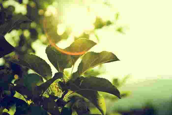 トマトを栽培するには、「日当たり」と「風通し」の良さは大切なポイントです。赤くてぴんと張ったトマトを育てるには、風通しの良い、よく日の当たる場所で栽培するようにしましょう。太陽の量が足りないと、花が付かなかったり、落ちたりしてしまう場合があります。