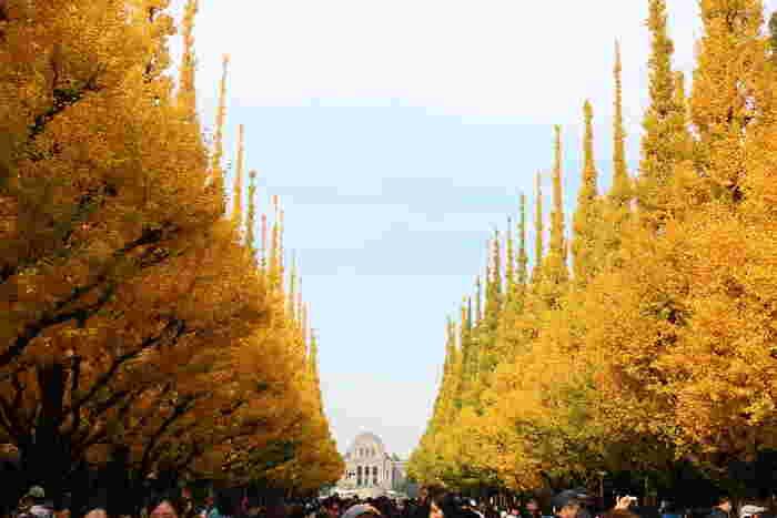 いちょう並木といえば、「明治神宮外苑」を思い浮かべる方も多いはず。青山通り口から円周道路に至る300mの道路に植えられたいちょう並木は、その規模と美しさで世界的にも有名だそう。樹齢100年以上の木々が植えられ、4年に1度剪定することで美しい樹形を保っています。