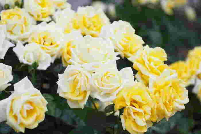 全国のおすすめバラ園15選。美しい風景と香りに包まれて……