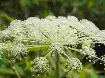 レースフラワーにもたとえられるシシウドも、直径50㎝あまりにもなる花を咲かせています。