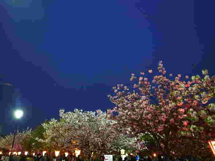 桜の通り抜けが開催されている時季では、夜桜のライトアップが行われます。無数に灯されたぼんぼりの灯り、光を浴びてうっすらと輝く淡ピンク色の桜、藍色の夜空が織りなす景色は絶景そのものです。