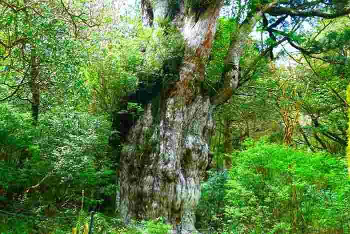 幹の凹凸が縄文式土器の文様に似ていることから縄文杉と呼ばれるそうです。