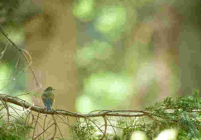 小鳥のさえずり。水の音と同じく、癒しの音としてBGMなどにも使われています。