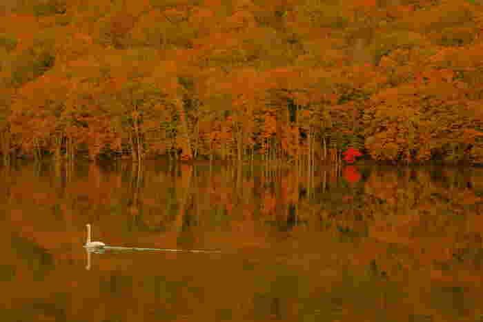 冬の使者・白鳥が飛来。真っ赤な景色に白鳥の白さが際立っていますね。