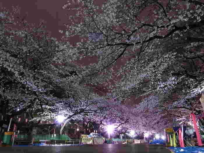 上野恩賜公園には、ソメイヨシノを中心として約50種類、約800本の桜が花を咲かせます。桜が見ごろを迎える時季になると、ライトアップが行われ夜桜鑑賞を楽しむ大勢の人々で賑わっています。
