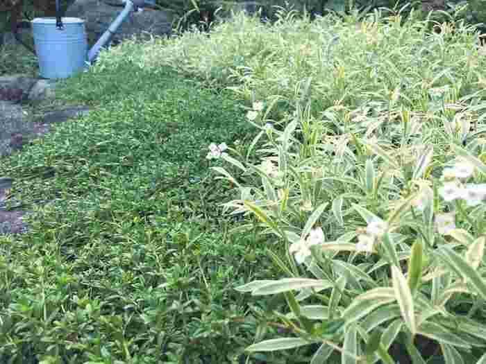 こちらは、ロンギカリウス・タイムとスーパーアリッサム・フロスティーナイトという品種。高さのあるバラの下にグランドカバーとして植えています。森に迷い込んだような、素敵な雰囲気ですね。