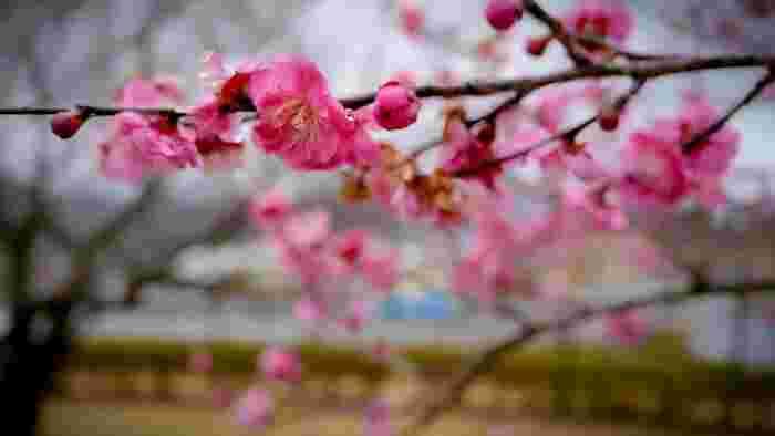 桃色に包まれた風景に魅せられよう!関東地方(群馬、栃木、埼玉)での梅の名所12選