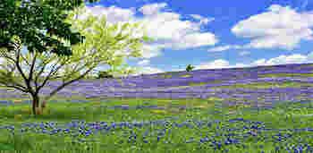"""見頃は3月〜5月。じっくり楽しみたいという方はブルーボネットで有名な町""""エニス""""に行くのがおすすめ♪周りの景色もとってものどかで、心癒されるひと時が過ごせます*"""