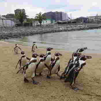 また、毎年11月から5月の土日と祝日には、ペンギンのパレードが開催されていることでも有名です。パレードを行うのはキングペンギン。このパレードを見にくる多くの観光客でいっぱいになるそう。ペンギンが好きな人は、ぜひ訪れてみてくださいね。