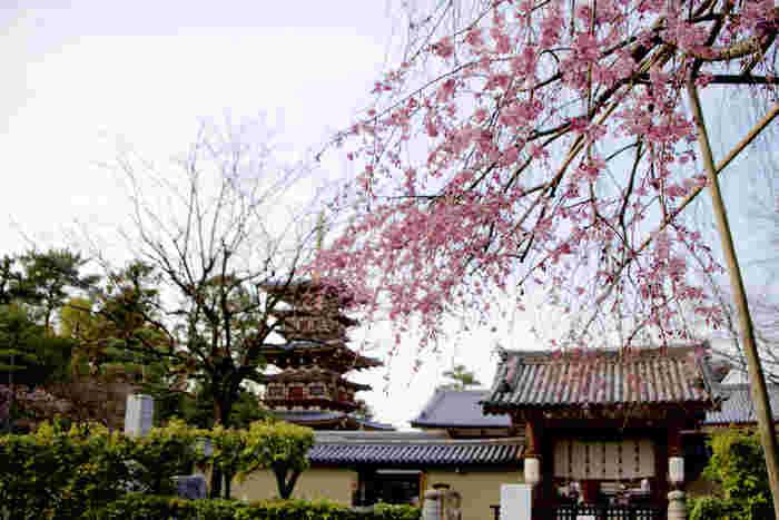国宝・東塔(五重塔)を背景に、枝垂梅が可憐に咲き、まるで一幅の掛け軸のような風景を作り出しています。