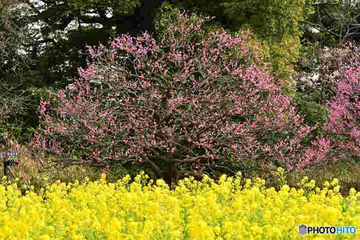 写真のように、2月〜3月には梅や菜の花が咲き誇ります。黄色とピンクのコントラストが美しい光景ですね*