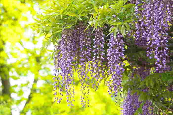 豊かな房をたっぷりと垂らして咲く様子がなんとも幻想的な藤の花。花言葉は「優しさ」「歓迎」「決して離れない」「恋に酔う」などで、紫の藤には「君の愛に酔う」、白の藤には「可憐」という花言葉もあります。ギフトにするなら盆栽がおすすめでが、「不治(ふじ)」と捉えて病気のお見舞いにはタブーとする考え方もあるので、ご注意下さいね。
