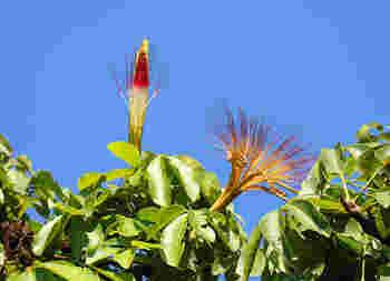 ただ、少し違うのは……現地のパキラの大きさは、なんと7~15m。本当にスクスクと育っているんですね!ちなみに、観葉植物としてのパキラは、10cm~大きくても2mくらいです。