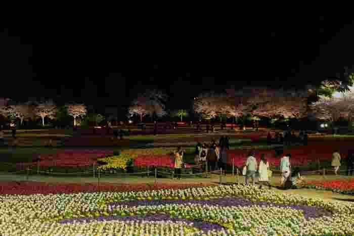 なばなの里では夜になるとライトアップが施されます。ここでは、夜間でも光を浴びて美しく輝くチューリップの花々を鑑賞することができます。