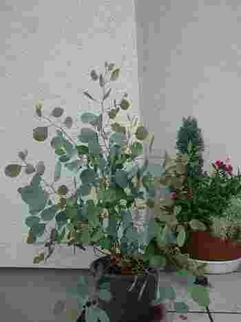 【ポイント】 丈夫でぐんぐん成長するため、定期的に植え替えをしたほうが◎ 2、3年に1度を目安に、広めの鉢に植え替えてあげて下さい。