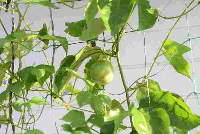 1つのプランターからバルコニーいっぱいにつるを伸ばす、旺盛な生命力。大きめのしっかりした苗を購入することによって、葉がよく茂り、実もたくさん収獲できます。