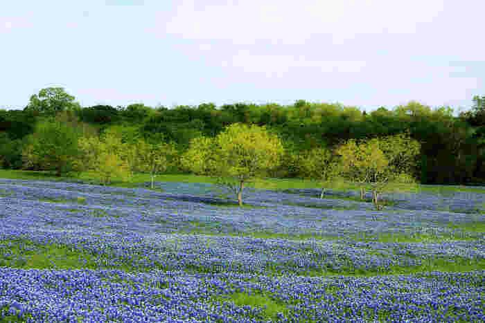 アメリカ、テキサス州の州花にもなっているのが「ブルーボネット」です。真ん中が白く、周りに青い帽子のような花がつくことから、その名がつけられました。鮮やかな青色がとても美しく、季節になると州外からも多くの人が見に来るようです。