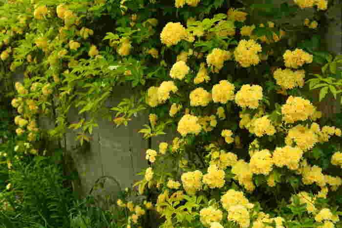 お家の壁やフェンス、アーチにバラを誘引しましょう。モッコウバラは枝を真上にすると花が咲きにくくなるんだそう。誘引するときは横や斜めを意識して麻紐で固定すると、花も咲きやすくなり見栄えも良くなります。