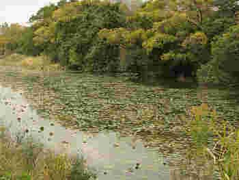 東京の下町・葛飾区にある水元公園は、東京23区内で最大規模を誇る水郷公園。園内にはかつて水産試験場養魚場だった池が連なり、現在は蓮池となって見事に咲き誇る蓮の花が来園者を楽しませてくれます。例年7月中旬~8月中旬頃が開花時期です。