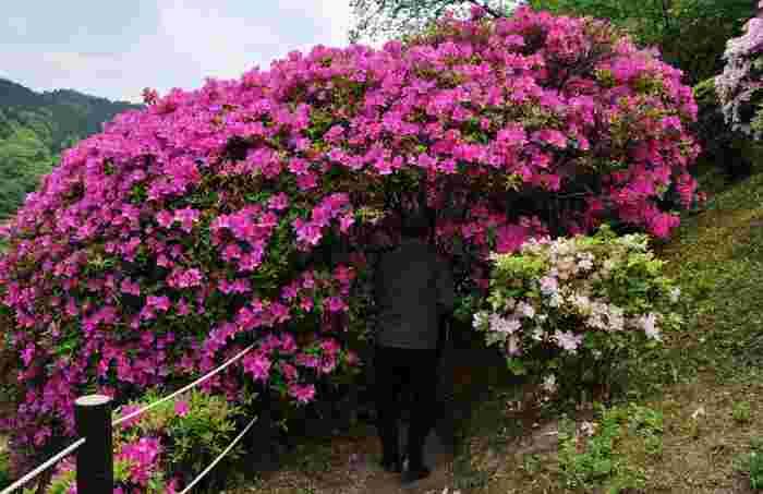 ツツジが満開になると、蹴上浄水場には、花のトンネルができます。ピンクに染まったトンネルをくぐってみませんか?