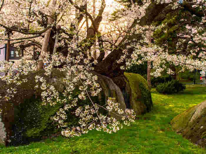盛岡市の中心にある地方裁判所。その敷地内にあるのが樹齢約360年とも言われる見事なエドヒガン桜です。岩の割れ目から幹を伸ばし、強く生きる姿が心を打ちます。