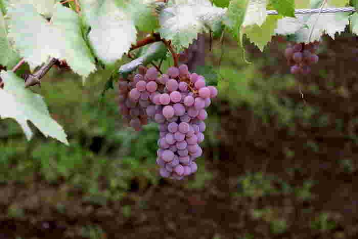 ワイナリーから徒歩1分の所にある、垣根畑。ここでは、くらむぼんワインのブドウ栽培を実際に見ることができます。シャルドネやカベルネ・ソーヴィニョンが栽培されています。四季折々に変わっていくブドウ畑の風景もじっくりと味わう事が出来ます。