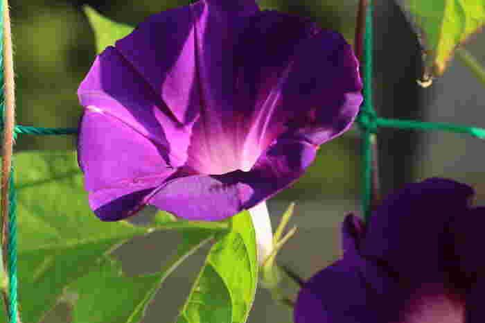 5.朝顔が開花しました~!タネから心を込めて育てた朝顔が花を咲かせると喜びもひとしお♪伸びたつると葉が、夏の暑い日差しをさえぎるカーテンになってくれますし、可憐に咲く花は目を楽しませてくれます。一石二鳥ですね☆
