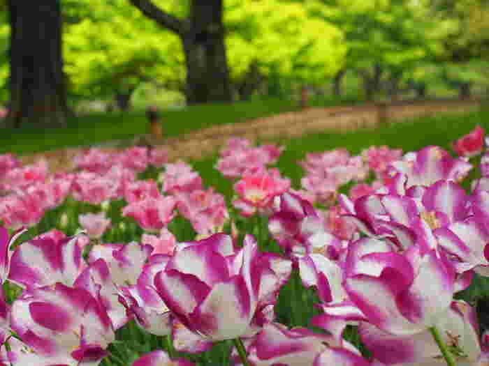 国営昭和記念公園に植えられているチューリップの品種は豊富で、色とりどりのチューリップ鑑賞を楽しむことができます。