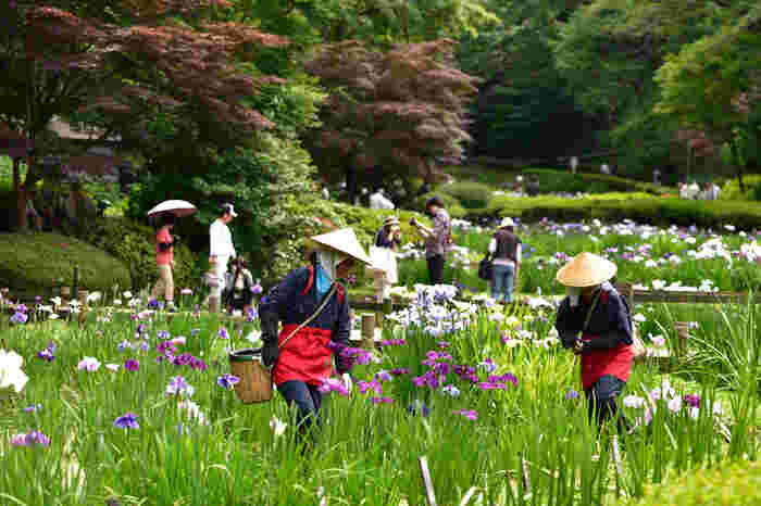 菖蒲が咲く季節には、名物の花摘み娘が登場します。
