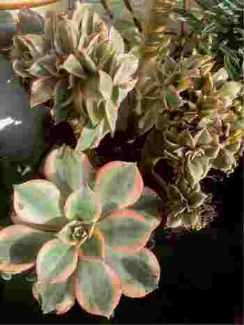 葉が花のように放射線状に広がっていくかわいい見た目のアエオニウム属。こちらはその中のサンバーストです。葉っぱの斑が特徴的な品種で、表面に傷がつくと黒くなるので注意が必要です。