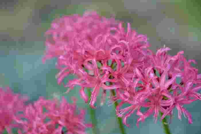 ネリネは花弁がきらきら輝くことから、ダイアモンドリリーという別名も持つ花。ヒガンバナの仲間ですが、日本でも観賞用として人気が高まっています。花言葉は「また会う日を楽しみに」「忍耐」「箱入り娘」。再会の約束として贈るのにぴったりの花ですね。