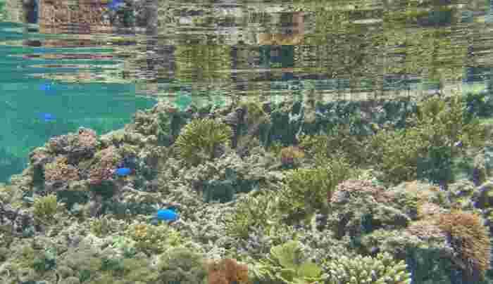 吉野海岸では、ビーチ付近から珊瑚礁が広がっています。色とりどりのサンゴの間を可愛らしい熱帯魚たちが泳ぎ回る吉野海岸の海中は、まさに竜宮城のようです。