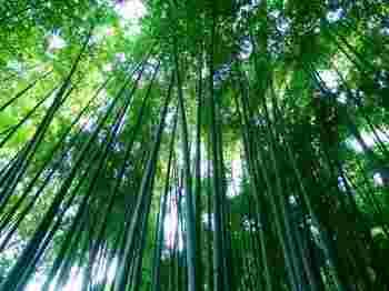 中には約2000本の孟宗竹が生える、うっそうとした竹の林です。青竹の爽やかな匂い、さらさらと葉がすれる音がとても気持ちの良い空間です。