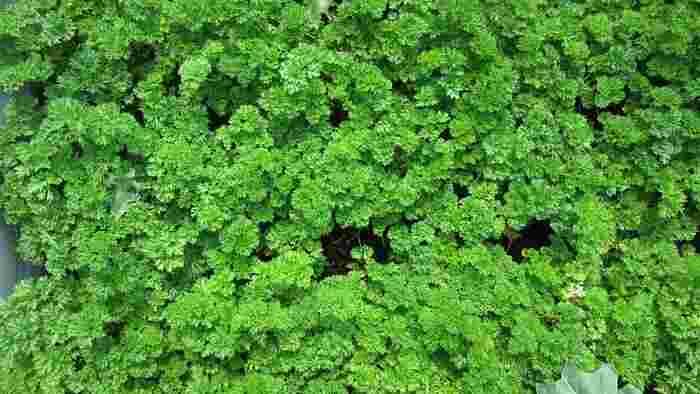 パセリは乾燥に弱く、春から初夏にかけての生育期には土に湿り気が残るくらいに水やりを行っても大丈夫です。また、パセリは水耕栽培することもでき、明るい室内に置いて育てると、苦みの少ない葉のやわらかなパセリが育ちます。