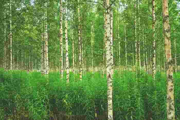 国土の70%以上が森に囲まれているフィンランド。自然が豊かなだけでなく、誰でも自由に自然を楽しむことができる権利=自然享受権が認められていて、森の中を散策することができます。日本の山林とは全く違う景色や空気に包まれて、のんびり歩いてみて。