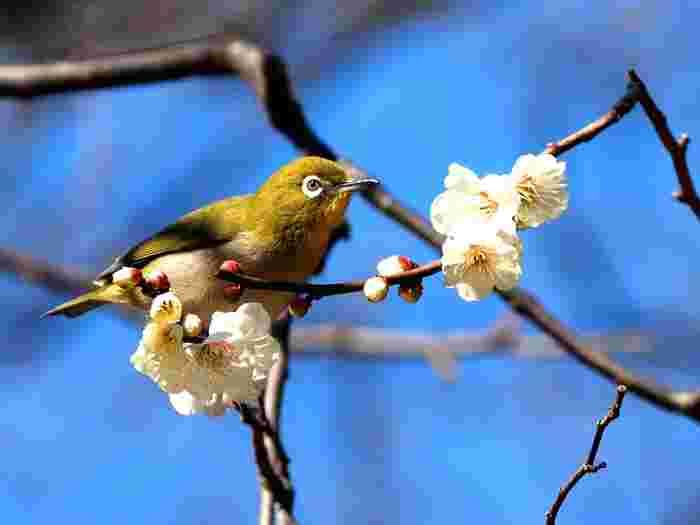 新宿御苑の梅林では、甘い梅の花の香に誘われてやってきた可愛らしいメジロの姿を見かけることができます。