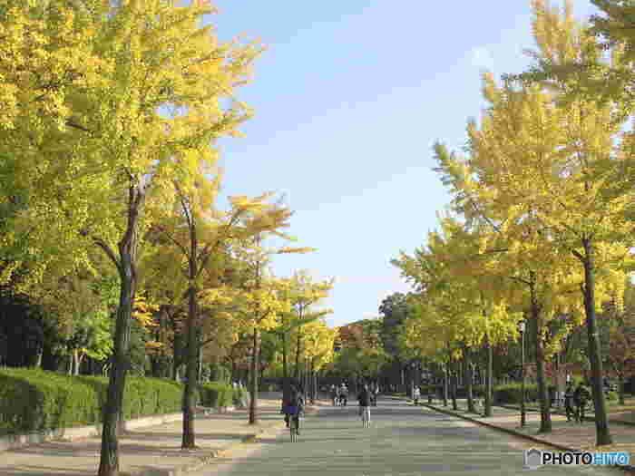 様々な種類の落葉樹が植樹されている大阪城公園ですが、イチョウ並木の美しさは格別です。晩秋になるとイチョウの葉が鮮やかな黄色に染まります。