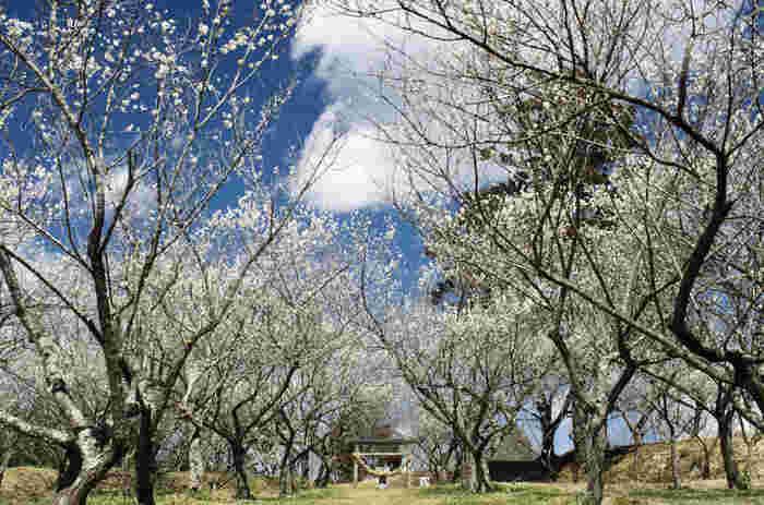 観音山梅の里梅園では、白加賀、紅梅など約3000本の梅が植樹されています。梅が見頃を迎える時季になると、観音山梅の里梅園梅まつりが開催され、大勢の観梅客でにぎわいます。