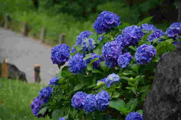 庭園のあちこちに咲く紫陽花。紫陽花は雨が似合う花だと思いませんか?鮮やかな青紫が雨の庭園の中にしっとりと映えます。