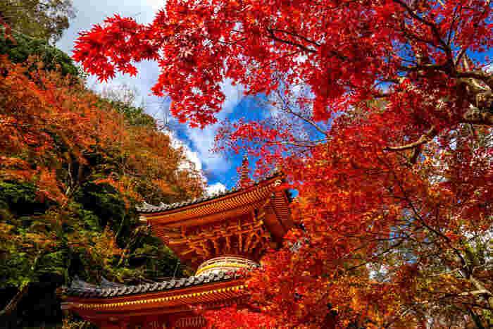 晩秋の大威徳寺境内は、どこを切り取っても絵画のような美しい景色を見せてくれます。抜けるような青空、空に浮かぶ白い雲、重要文化財に指定されている朱色の多宝塔、多宝塔を取り囲む色とりどりの樹々が織りなす景色は、一枚の錦絵のような素晴らしさです。