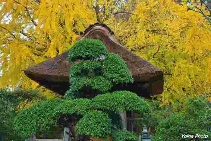 本堂の手前にある茅葺屋根の「鐘楼」脇には見事な銀杏の木が。紅葉の季節にはまるで金屏風のように色づきます。この時期にしか見ることができない姿は、一見の価値あり!ですよ。