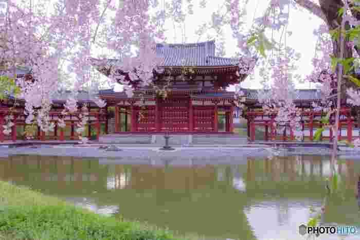 世界遺産として有名な、宇治の「平等院鳳凰堂」ですが、その正面にある池の向かい側には桜が立ち並びます。極楽浄土をイメージして造られたと言われる、平安時代に完成した最古の浄土庭園と桜のコントラストは格別。ここでしか見ることができない桜の景色は一見の価値ありです。