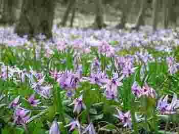 カタクリ群生地です。一面にカタクリの花が咲きます。 カタクリの園は木道が整備されているので、小さい子供からお年寄りまで安心して観賞できます。