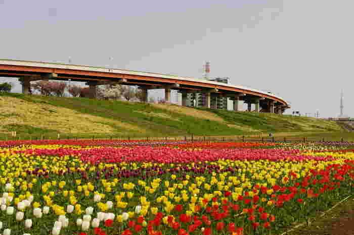 足立区都市農業公園は、「自然と遊ぶ、自然に学ぶ、自然と共に生きる」ことをモチーフにしている公園です。河川敷には大花壇があり、毎年春になるとたくさんのチューリップが開花します。